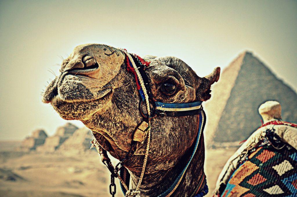 Chameau-egypte